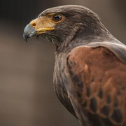 Hawk Walk - Spectator/Camera man